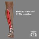 Front-of-leg